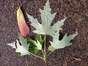 Maple leaf in rain