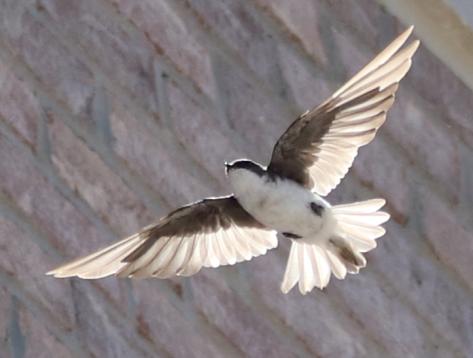 Bankswallow7