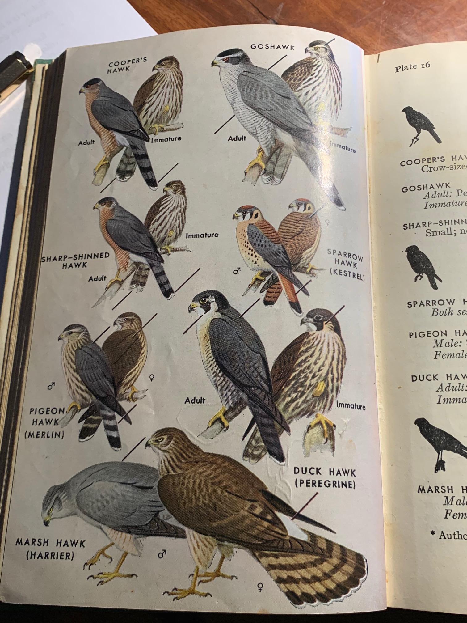 Peterson Hawks